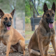 Royal Australian Air Force untrained working dogs for tender